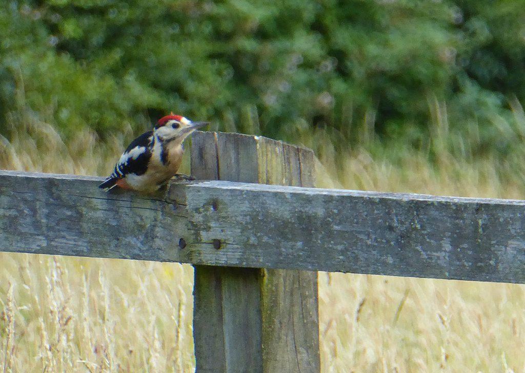 pied woodpecker - juvenile