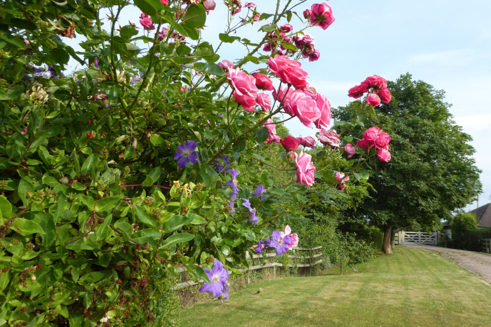 Roses and clematis beside the Barn driveway